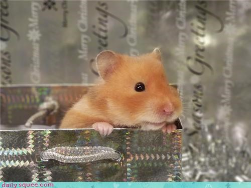 cute hammy hamster user pet - 4285747200