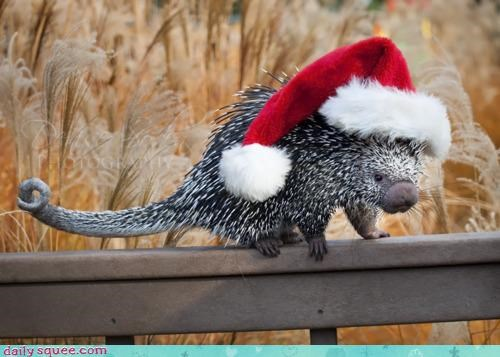 acting like animals,christmas,coendou,hat,merry christmas,porcupine,prehensile tail,santa,santa hat