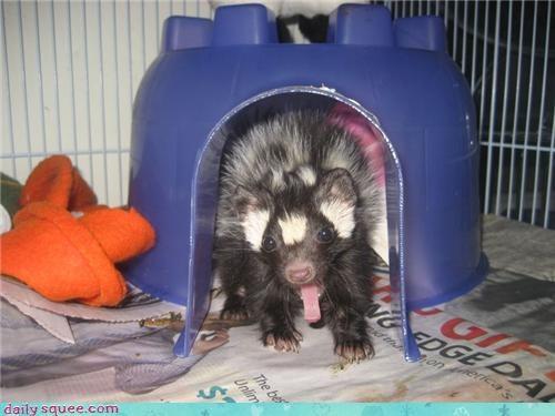ferret,skunk,spotted skunk,yawn