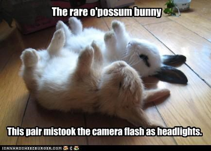 bunnies bunny camera caption captioned headlights mistake opossum pair rare species - 4286238976