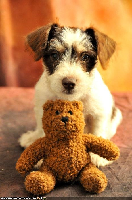 cute cyoot puppeh ob teh day guarding mine not yours ownership possession puppy schnauzer teddy teddy bear
