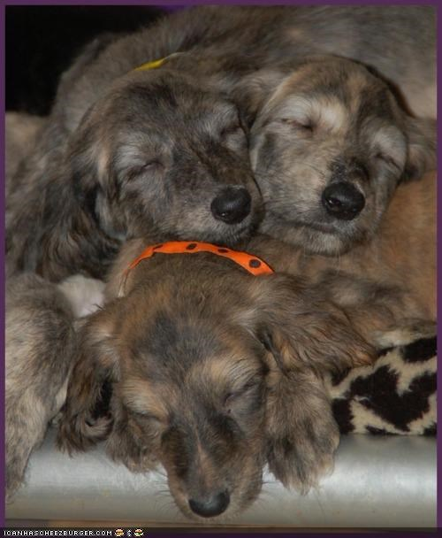 Afghan Hound cyoot puppeh ob teh day pile puppies puppy sleeping - 4286274560