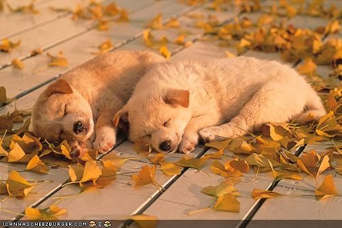 comfortable comfy cyoot puppeh ob teh day leaf leaves puppies puppy sleeping whatbreed