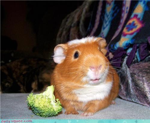 cute guinea pig Om Nom Monday peeg pig - 4286368256