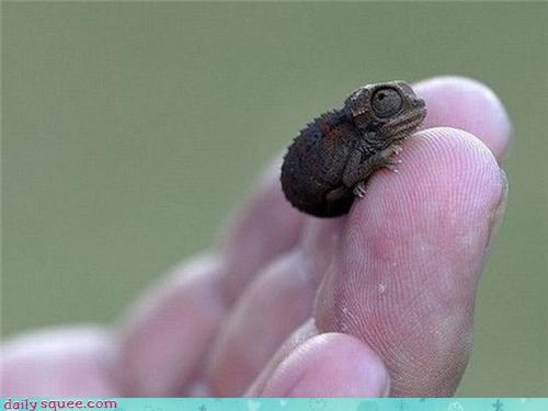 baby chameleon cute tiny - 4287426048