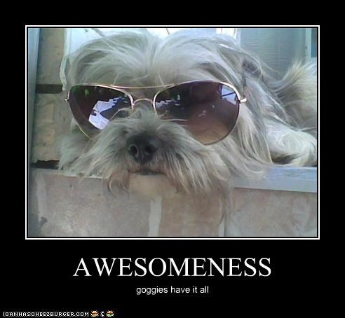 awesome,awesomeness,epic,i has,posing,shih tzu,sunglasses