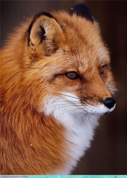 squee,fox,snow,deep thought,whiskers,wild