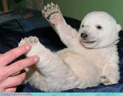 baby,cub,paw,polar bear,tongue