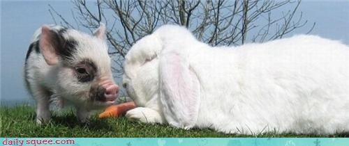bunny,carrot,Interspecies Love,pig,rabbit