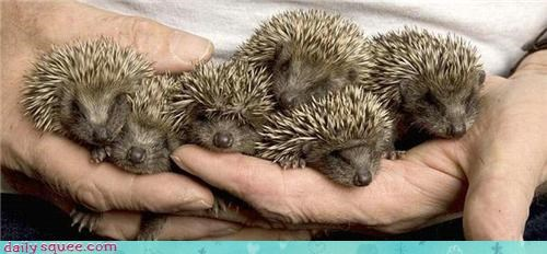 Babies handful spines hedgehog squee