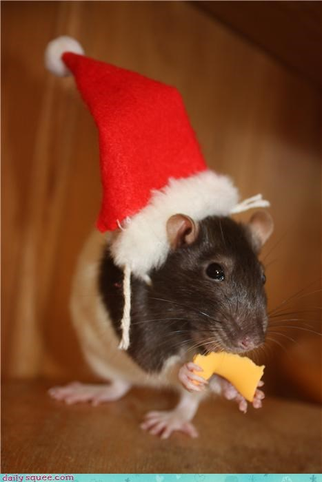 christmas rats reader squee pets squee santa hat holidays - 4294714112