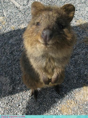 australia,cute,quokka,whatsit,whatsit wednesday