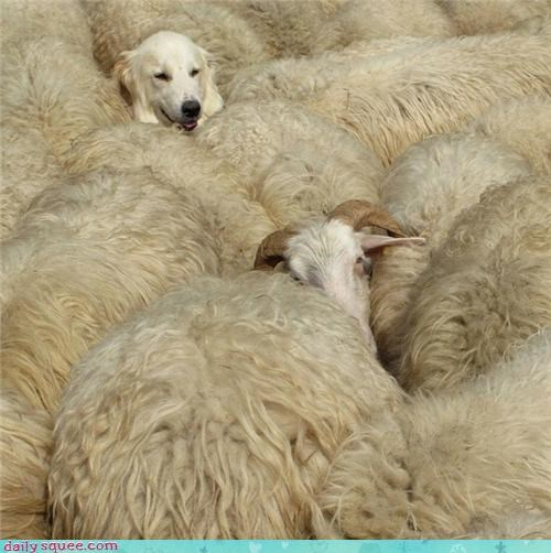 cute dogs sheep woll - 4298449920
