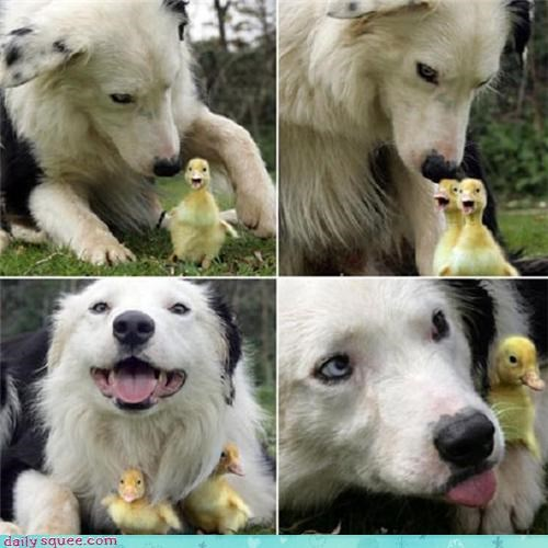 baby bird dogs duck duckling - 4298699008