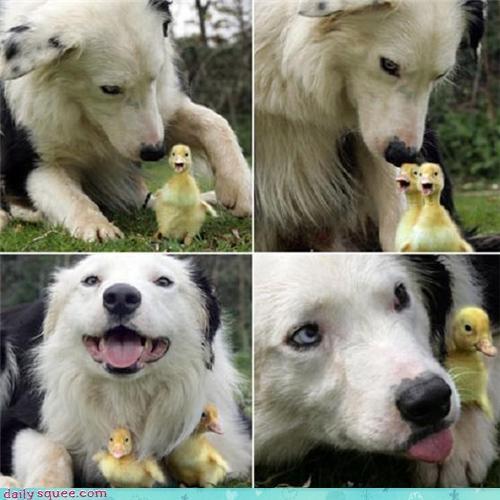 baby bird dogs duck duckling - 4298699008