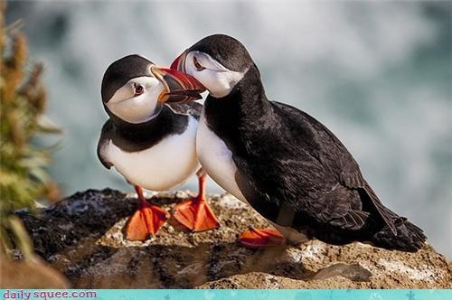 bird cute KISS puffin - 4299703552