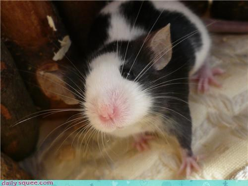 cute mice mouse pet rescue squee spree - 4300518400