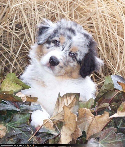 australian shepherd blending in camouflage compensation cute FAIL puppy themed goggie week winner - 4301197824