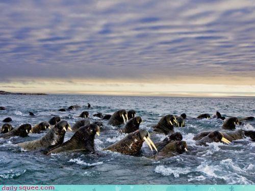 acting like animals adage herd herding soundtrack the Beatles walrus walruses - 4301237248