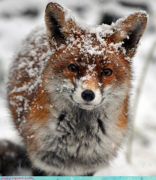 acting like animals arctic fox explanation fox justification question snow - 4301237760