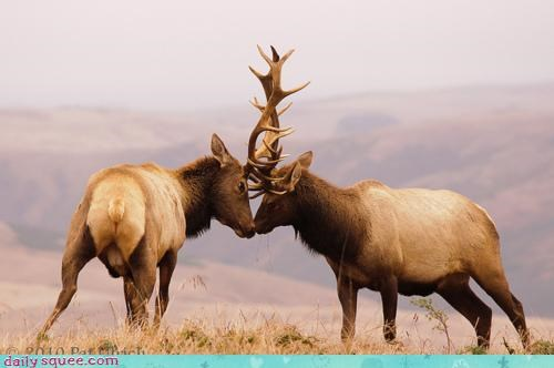 acting like animals antlers butting heads competition contest elk fighting random rant ranting Staring staring contest - 4301240320