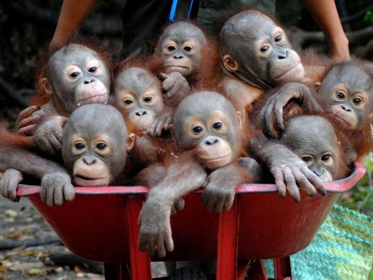 baby organization pre school orangutan - 4301317