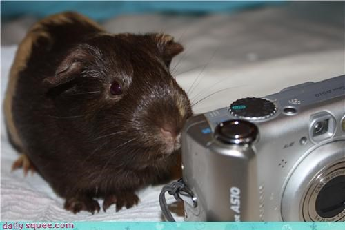 camera,carrots,guinea pig,pet,reader squee