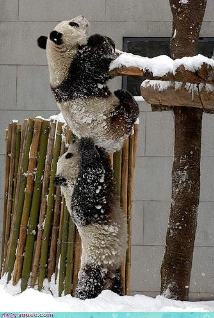 climbing escape getting into trouble panda bear snow