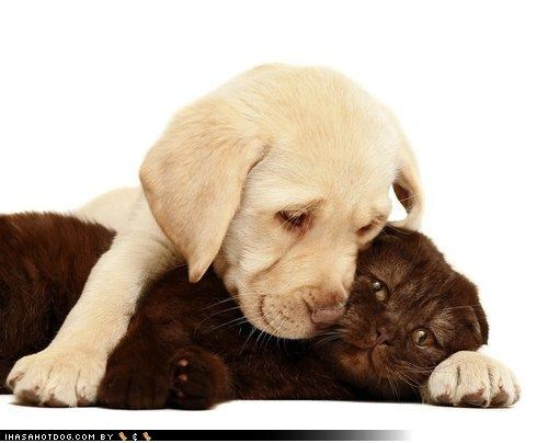 cat,closeness,cuddling,friendship,kittehs r owr friends,labrador,puppy,snuggling