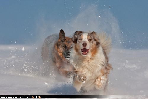 afraid australian shepherd being chased chased chasing fear help running scared themed goggie week whatbreed - 4304191744