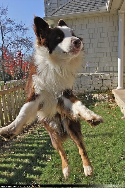 australian shepherd bubbles excited excitement happy jumping playing themed goggie week - 4304194816