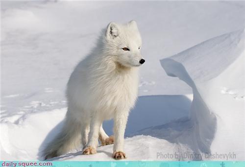arctic fox Fluffy fox snow white - 4306669568