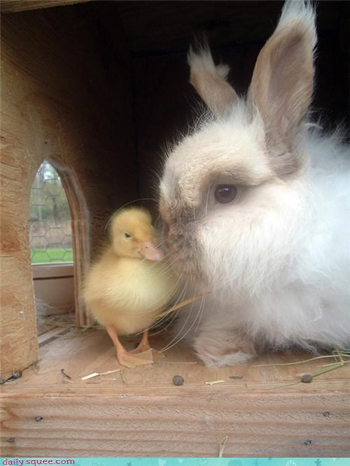 cute,duck,floof,rabbit
