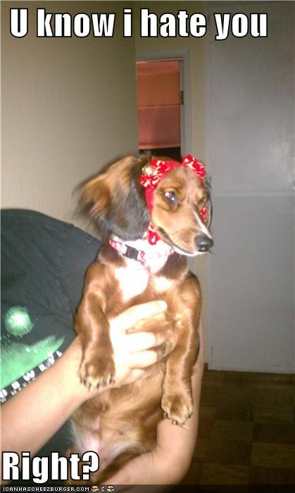confirming dachshund displeased hate just saying long haired question reminder right unhappy upset - 4308361472