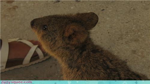 animal cute quokka weirdo - 4309429760