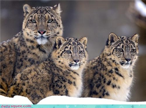cat leopard pretty snow - 4309937408