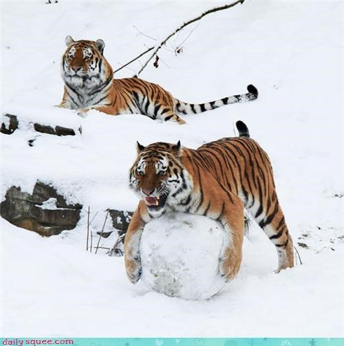 big cats snow snowball fight tiger