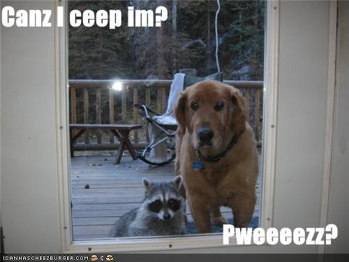 can i keep him,friends,golden retreiver,outside looking in,raccoon