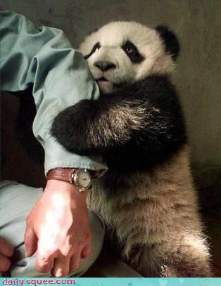 baby cub dont-go panda bear squee treats