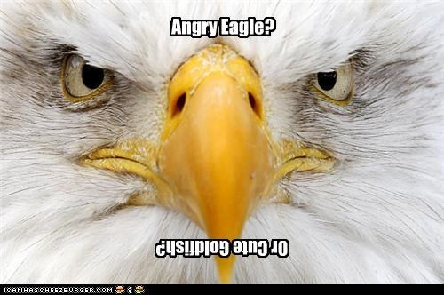 america angry animals birds cute eagle upside down - 4312206336