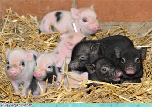 Babies Hall of Fame hay newborn newborns pig piglets snout squee - 4314904576