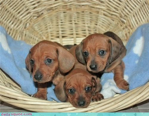 cute dachshund dogs litter puppy user pets