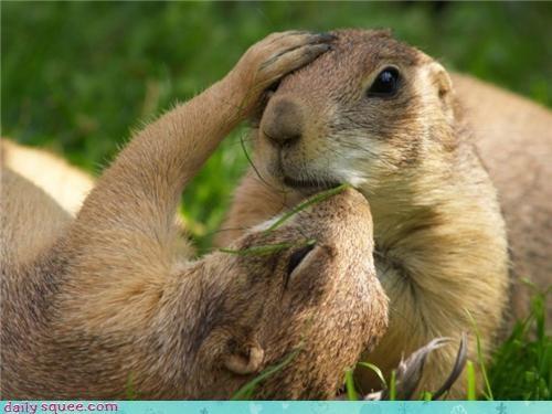 cute face ground hog KISS prarie dog - 4321252608