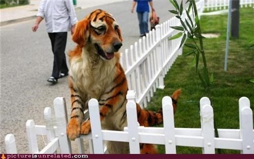costume dogs gene splicing tiger wtf