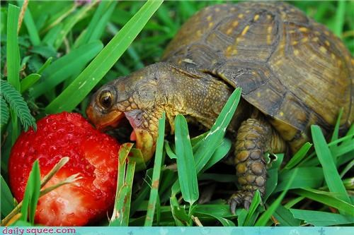 cute,food,nom,strawberry,turtle
