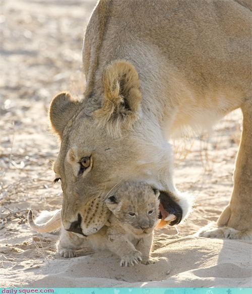 baby cat cub lion - 4322554880