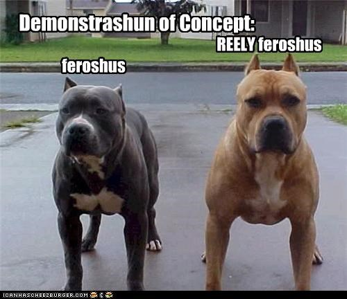 demonstration of concept ferocious fierce pit bull pitbull posing really stance