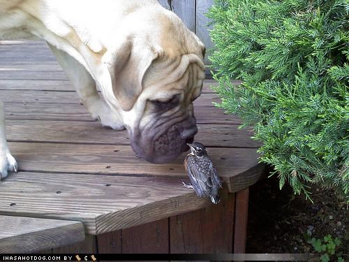 acceptance bird cat kitteh mastiff odor Okay scent smelling sniffing themed goggie week winner - 4324784640