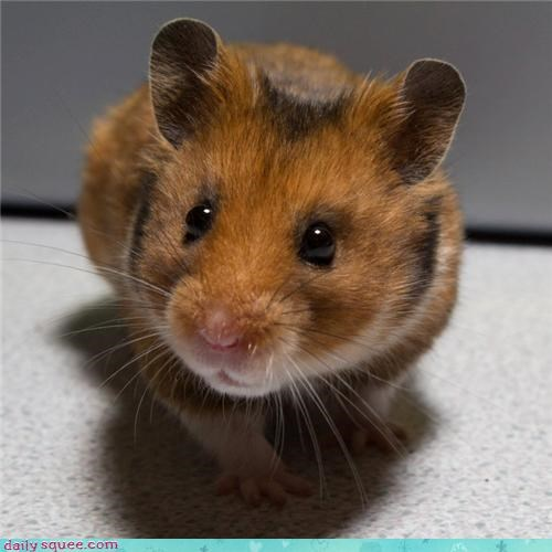 hamster pet user pet user pets - 4325027328