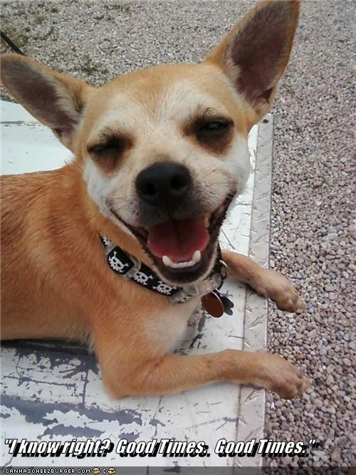 chihuahua daft drugs good happy high silly smiling times - 4325430784